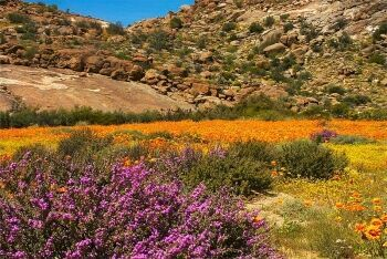 Desert in the spring Goegap Nature Reserve Namaqualand